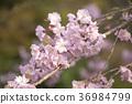 spring, bloom, blossom 36984799