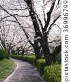 꽃잎, 벚꽃 나무, 벚나무무 36996799