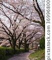 꽃잎, 벚꽃 나무, 벚나무무 36996800