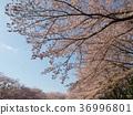 푸른, 사쿠라, 벚나무무 36996801