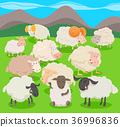 flock of sheep characters cartoon illustration 36996836