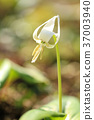 erythronium, katakuri, bloom 37003940