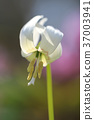 erythronium, katakuri, bloom 37003941