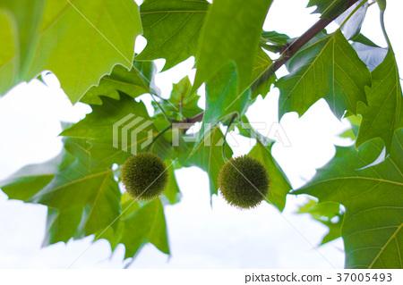 ใบไม้,ธรรมชาติ,ผักใบ 37005493