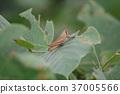 Tuchiinago(幼虫,褐色) 37005566