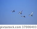 天鵝在天空中跳舞 37006403