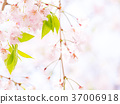 weeping, cherry, tree 37006918