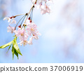 weeping, cherry, tree 37006919