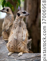 Close up of couple meerkats standing  37006958