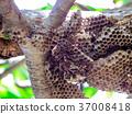 蜜蜂 蜂房 蜂窩 37008418