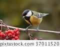 Great tit, parus major, on branch with red berries 37011520