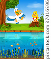 Cute pelican and duck in the river 37016596