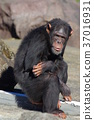 chimp, chimpanzee, animal 37016931