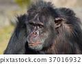 침팬지, 동물, 포유류 37016932