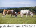 Herd of cows and calves grazing  37022611