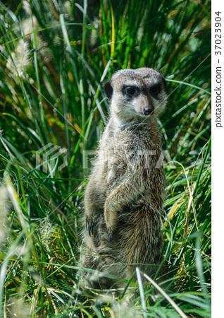 Pensive meerkat 37023904