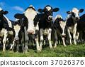 奶牛 牲口 牛 37026376