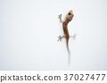 Gecko house lizard 37027477