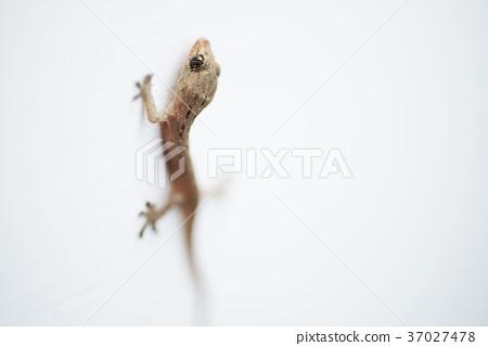 壁虎 house lizard 37027478