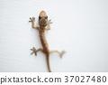 Gecko house lizard 37027480