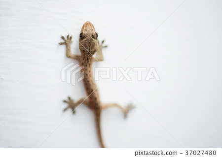 壁虎 house lizard 37027480