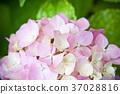 hydrangea flower 37028816