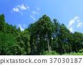 삼나무 숲, 삼나무, 나무 37030187