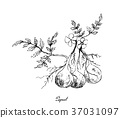 Hand Drawn of Pignut Plant on White Background 37031097