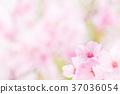 Sakura image 37036054
