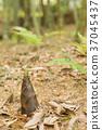 죽순, 봄, 식물 37045437