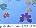 花朵標本 繪畫 圖畫 37046078