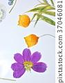 花朵標本 繪畫 圖畫 37046081