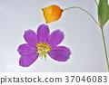 花朵標本 繪畫 圖畫 37046083