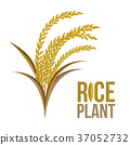 Rice Plant on white background ,Vector 37052732