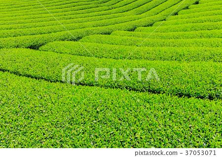 富士宮_新鮮綠茶種植園 37053071