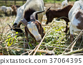 goat eating with blurry background 37064395