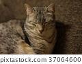 แมว,สัตว์,ภาพวาดมือ สัตว์ 37064600
