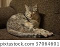 แมว,สัตว์,ภาพวาดมือ สัตว์ 37064601