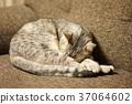 แมว,สัตว์,ภาพวาดมือ สัตว์ 37064602