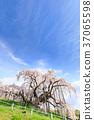 후쿠시마 _ 만개 한 미하루 滝桜 37065598