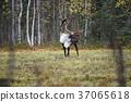 馴鹿 阿拉斯加 37065618