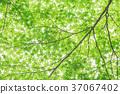 신록, 잎, 이파리 37067402