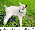 animal kid goat 37069825