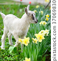 animal kid goat 37069830