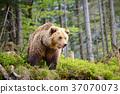 European brown bear in a forest landscape 37070073