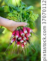 Fresh organic radishes with tops and green leaves 37070112
