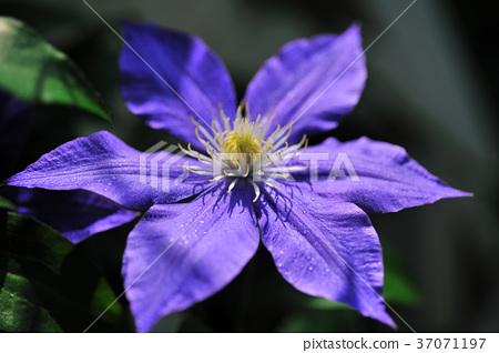 鐵線蓮,花,花瓣,開花,植物,葉子,特別的,特殊,特寫,紫色花 37071197