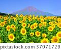 向日葵和富士山-777 707 37071729