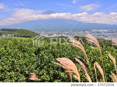 후지산, 산, 차나무 밭 37072038