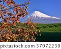 富士山 岩本山 秋天 37072239